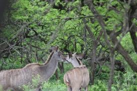 Kudu, I think?