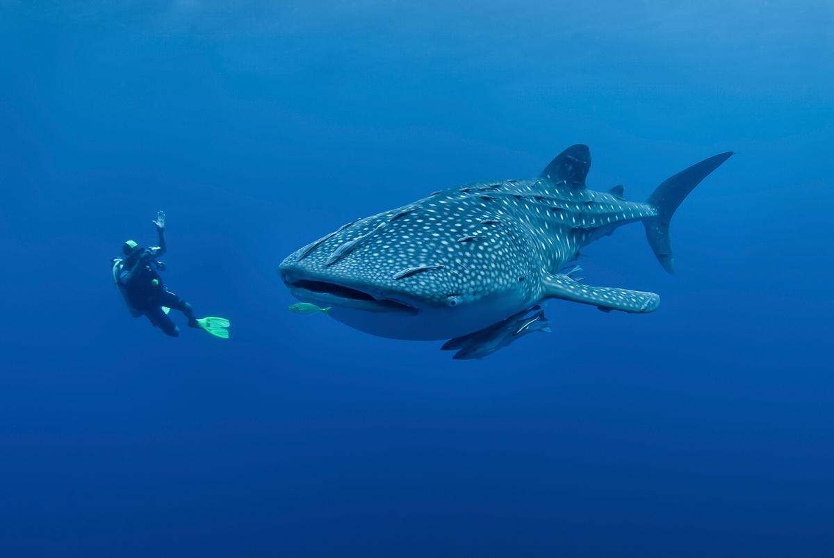 Whale Sharks!!!!
